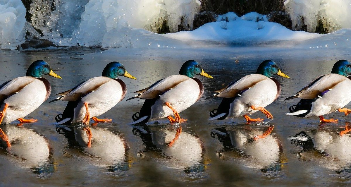 ducks lined up walking across smooth water